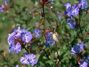 Cerato bach çiçekleri terapisi