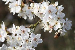 Cherry Plum (Erik Ağacı) Bach çiçeği