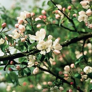 Bach flower Crab Apples