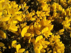 Gorse bach çiçekleri terapisi