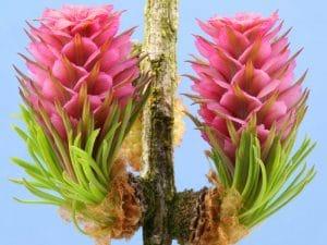 Larch Bach Çiçekleri