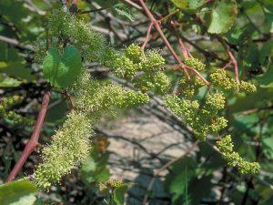 Bach Vine (Asma)