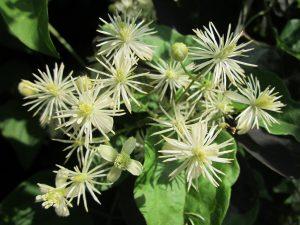 Clematis bach çiçekleri terapisi