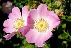 Wild Rose bach çiçekleri terapisi